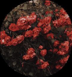 freetoedit flowers roses