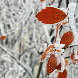 photography frost leaves nature closeup