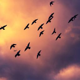 freetoedit birdsinflight flockofbirds sky lookup