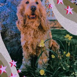 freetoedit cockerspaniel doggo dog puppy