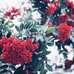 nature christmasvibes bushes redberries redandgreen freetoedit