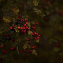 walkinginthewoods appreciatenaturearoundyou bushes shrubs redberries freetoedit