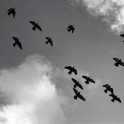 flockofbirds birdsinflight silhouette freetoedit