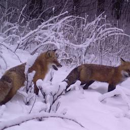 fox animal redfox snow trees freetoedit