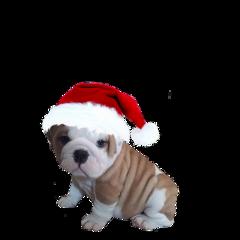 bulldog christmas hat puppy puppydog freetoedit