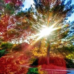 freetoedit christmasday morningsun myneighborhood pinetrees