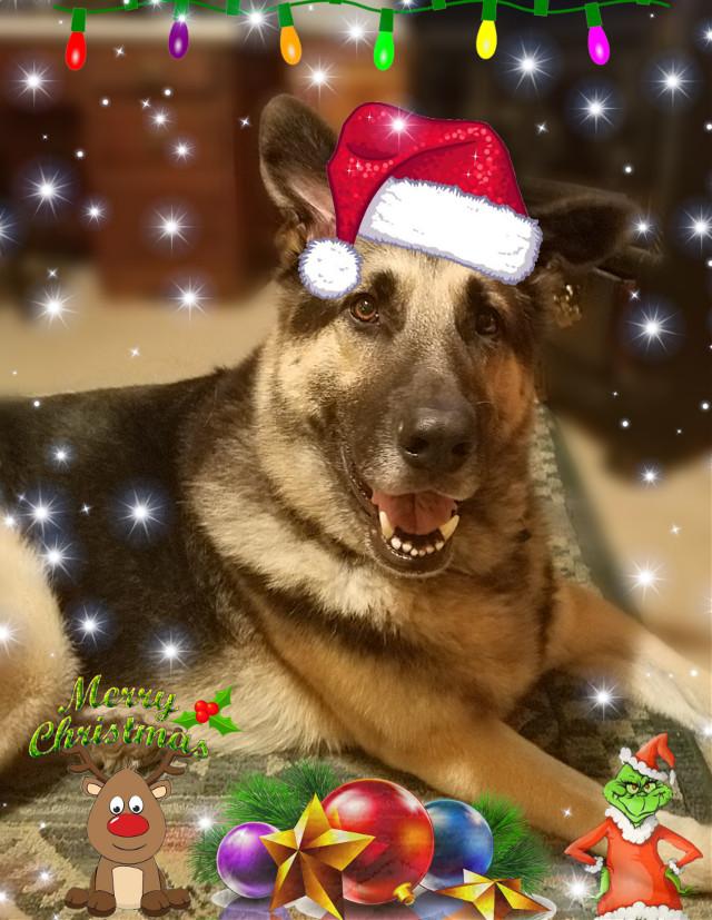 Merry Christmas from Axel! #gsd #dogs #germanshepherd #dog #petsandanimals    #festivepets