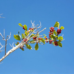 nature photography greenandred minimal berries freetoedit