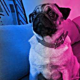 freetoedit pinkandblue pug puglove hdr
