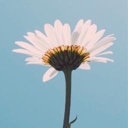 flower nature minimalism daisy singleflower freetoedit