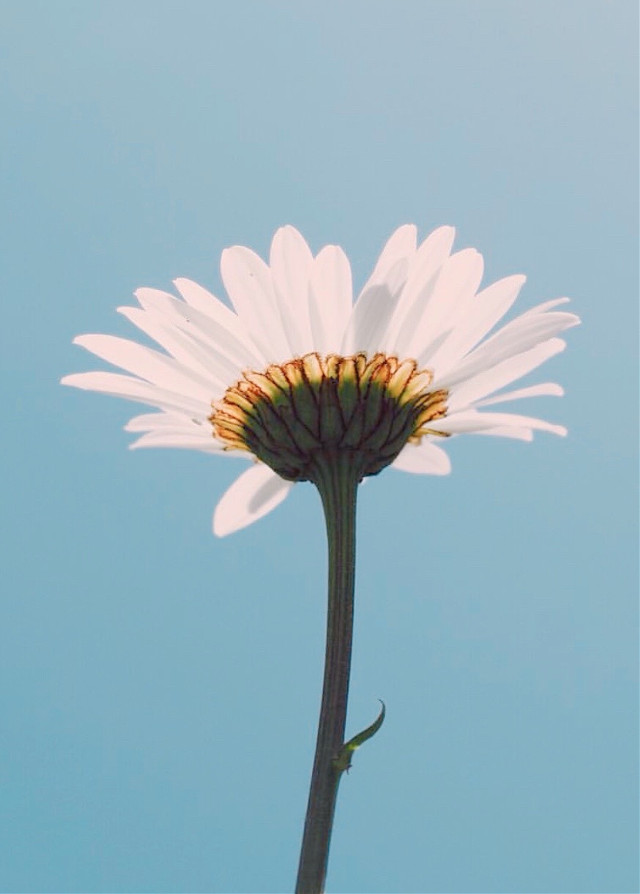... Imagine no possessions     I wonder if you can     No need for greed or hunger     A brotherhood of man...  • #flower #nature #minimalism #daisy #singleflower #inthecenter #blueskybackground #lowangleshot #minimalphotography   #freetoedit