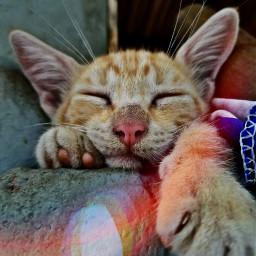 catlove cats cat gato gatos freetoedit