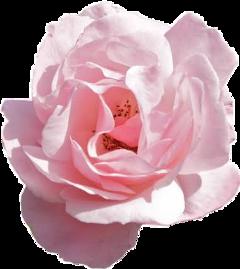 flower flowers rose roses arthoe freetoedit