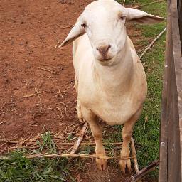freetoedit nature goat animals