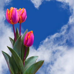myedit sky flowers pink tulips freetoedit
