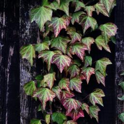 nature ivy fence freetoedit