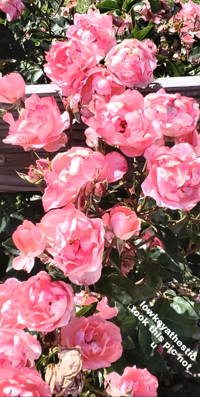 🌺 ɞє һȏṅєṡṭ ɞє ṅıċє ɞє ѧ ғʟȏẇєя ṅȏṭ ѧ ẇєєԀ 🌺      #madebylowkeyathestic #pretty #pink #aesthetic #aestheticflowers #aestheticflower #flowers #flower #pinkroses #roses #rose