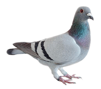 #animals #animal #trend #moodboard  #love #nature #sticker #stickers #ftestickers #bird #birds #fly #pigeon #pigeons #freetoedit