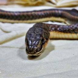 freetoedit snake real animal reptile