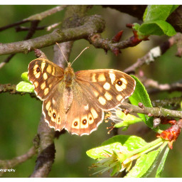 freetoedit followme butterfly butterflyphotography insect