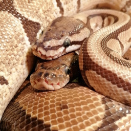 snakes animalfriends reptiles dreamjob scales