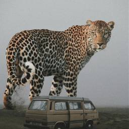 lwopard van desert travel animal freetoedit
