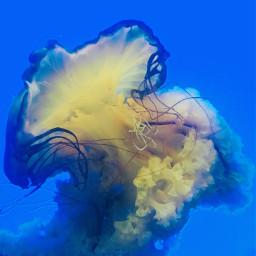 freetoedit jellyfish blue colors