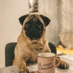 puglove morningtime coffeetime goodmorning pugs