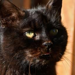 cat blackcat petsandanimals