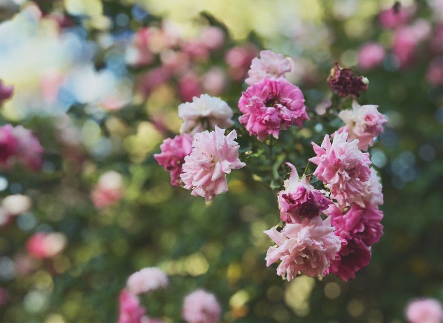 #floral #flowers #trees #pink #nature #beautiful #iPhone #photography #portraitmode #lowcontrast #oldphoto