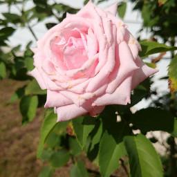 freetoedit rose pink beautiful myphotography
