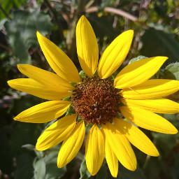 freetoedit flower yellow nature beautiful