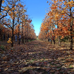 orchard amateurphoto autumn perspective fallenleaves pcbreathtakingviews breathtakingviews