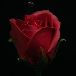 saudiarabia d5300 nikon photography rose
