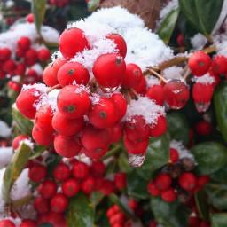 freetoedit berries snow winter naturephotography
