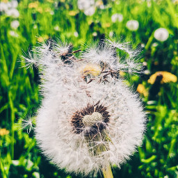nature spring dandelion freetoedit