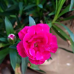 flower pink myclick