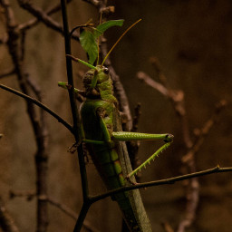 freetoedit photography grasshopper insect nature