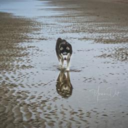 husky_dog husky pcreflections reflections