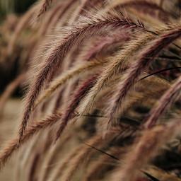 freetoedit grasses nature naturephotography photography