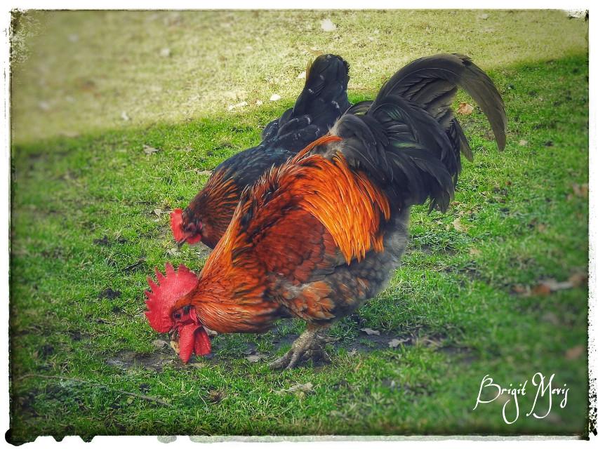 #freetoedit #animals #chicken