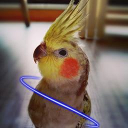 freetoedit cockatiel ecneonswirls neonswirls neon