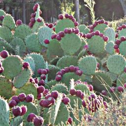 myphoto cactus🌵 greenleaves nature cactus