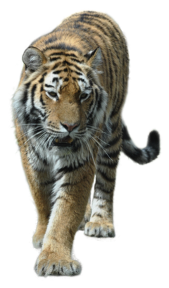 animal tiger cat bigcat freetoedit