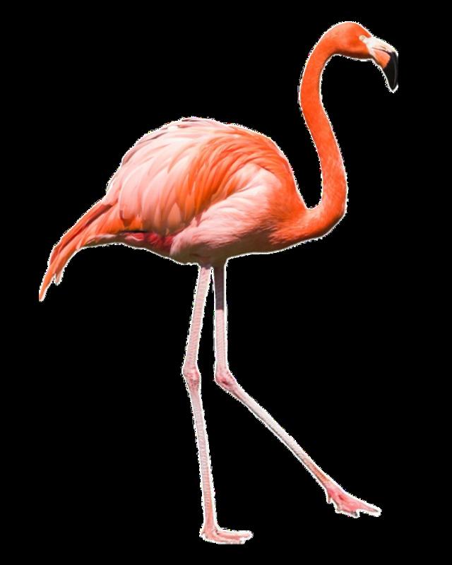 #flamingo #freetoedit