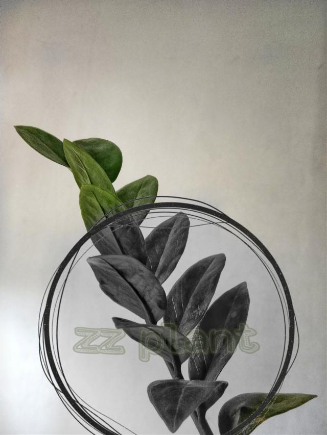 #freetoedit zz plant