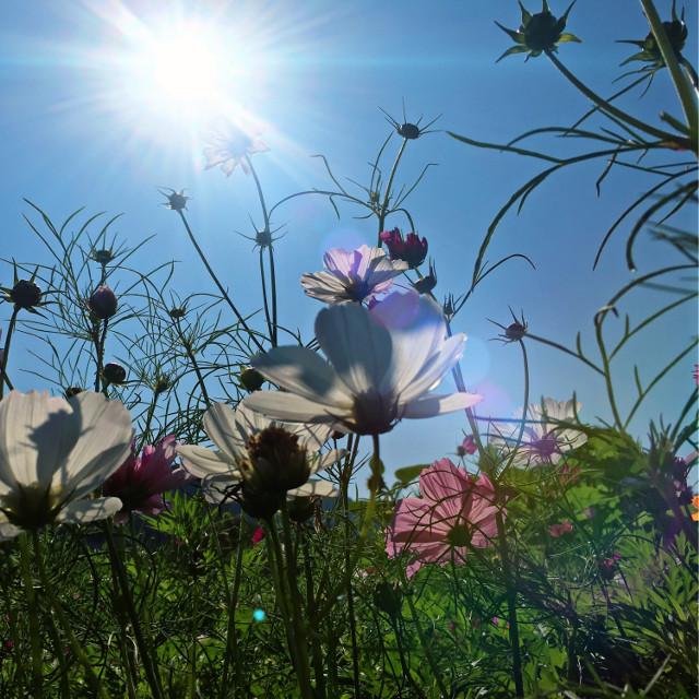 #flowers #wildflowers #garden #nature #sun #bluesky #lensflare #freetoedit