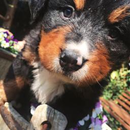 freetoedit puppy dog puppylove puppies pctheonesyoulove theonesyoulove