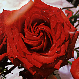 freetoedit rose flower nature beauty