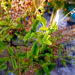 tree leaves ocimum